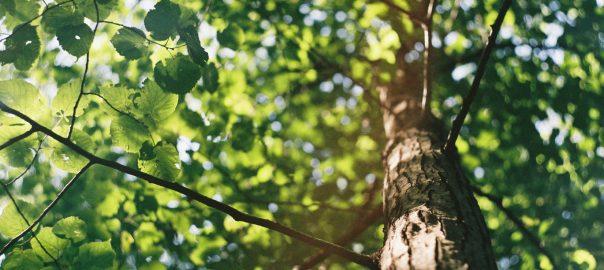 poplar-tree-removal